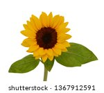close up blooming sunflower on... | Shutterstock . vector #1367912591