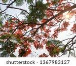 delonix regia or flame tree... | Shutterstock . vector #1367983127