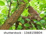Song Thrush In The Nest With...