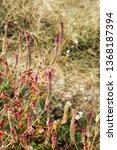 hairy uraria in nature | Shutterstock . vector #1368187394