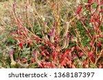 hairy uraria in nature | Shutterstock . vector #1368187397