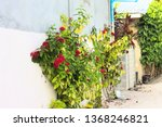 isolated geranium plant with... | Shutterstock . vector #1368246821