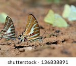 butterfly  chain swordtail   ... | Shutterstock . vector #136838891