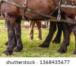 Size matters: Legs of a male driver in pants near the legs of three powerful Percheron draft horses (binomial name: Equus ferus caballus) standing together in a pasture on an 1890s living history farm