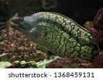 mediterranean moray  muraena... | Shutterstock . vector #1368459131