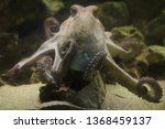 common octopus  octopus... | Shutterstock . vector #1368459137