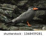 inca tern  larosterna inca .... | Shutterstock . vector #1368459281