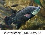 angolan tilapia  oreochromis... | Shutterstock . vector #1368459287