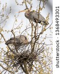 Great Blue Heron's Building A...