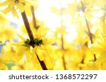flowering forsythia in... | Shutterstock . vector #1368572297