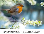 Red Robin  Erithacus Rubecula ...