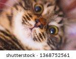 portrait of a cute cat. pussy...   Shutterstock . vector #1368752561