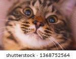 portrait of a cute cat. pussy...   Shutterstock . vector #1368752564