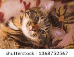 portrait of a cute cat. pussy...   Shutterstock . vector #1368752567