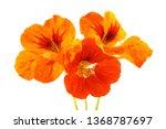 growing nasturtium isolated on...   Shutterstock . vector #1368787697