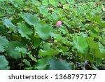 the beautiful lotus of inside... | Shutterstock . vector #1368797177