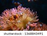 Acquarium With Clown Fish And...