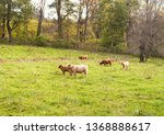 A group of highland cattle grazing in a field in Goshen Connecticut in spring.
