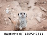 the meerkat or suricate ... | Shutterstock . vector #1369243511