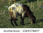 one black and white goat in the ...   Shutterstock . vector #1369278857