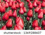 beautiful colourful tulip...   Shutterstock . vector #1369288607