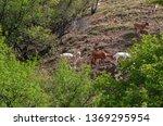 Goats Grazing On A Mountainside ...