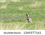Stock photo european brown hare lepus europeaus running in field 1369377161