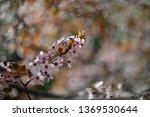 spring blossom background....   Shutterstock . vector #1369530644