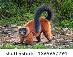 the red ruffed lemur  varecia... | Shutterstock . vector #1369697294