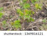 first young green leaves on a... | Shutterstock . vector #1369816121