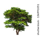 Small photo of Rain tree (Albizia saman), tropical tree in the northeast of Thailand isolated on white background