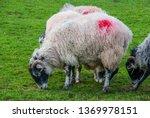 flock of sheep grazing on...   Shutterstock . vector #1369978151