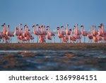 bright pink african water birds ... | Shutterstock . vector #1369984151