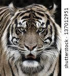 tiger portrait  | Shutterstock . vector #137012951