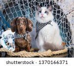 Stock photo cat and dog dachshund puppy chocolate merle color and kitten regdoll kitten and puppy 1370166371