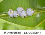 Honduran White Bat  Ectophylla...