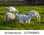 Sheep And Goats On The Grass A...