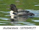 pair of loons | Shutterstock . vector #1370549177