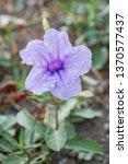purple ruellia tuberosa flower... | Shutterstock . vector #1370577437