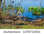 the wild greylag goose in the... | Shutterstock . vector #1370713031