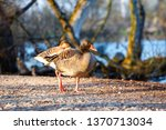 the wild greylag goose in the... | Shutterstock . vector #1370713034