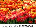 blooming orange yellow tulip ... | Shutterstock . vector #1370724044