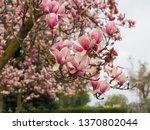 close up of saucer magnolia... | Shutterstock . vector #1370802044
