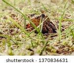 garden nature amphibian | Shutterstock . vector #1370836631