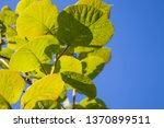 young leaves of kiwi plant... | Shutterstock . vector #1370899511