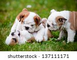 Stock photo english bulldog puppies playing outdoors 137111171