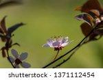 prunus cerasifera pissardii... | Shutterstock . vector #1371112454