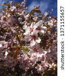 pink cherry blossom  macro... | Shutterstock . vector #1371155657
