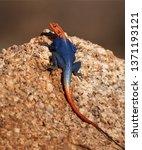 orange and blue colored lizard  ... | Shutterstock . vector #1371193121