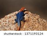 orange and blue colored lizard  ... | Shutterstock . vector #1371193124